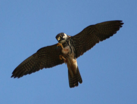 Hobby with Dragonfly by Chris