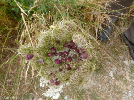 Gall on wild carrot