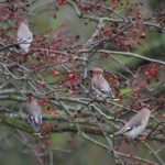 Waxwings in Northfleet