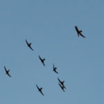 Listen out for swifts arriving this week