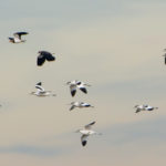 Cliffe Pools and Northward Hill RSPB Reserves
