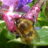 Hairy Footed Flower Bee - The Forgotten Pollinators