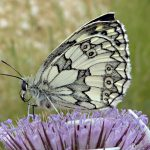 Are Butterflies Getting Rarer - Join the Big Butterfly Count