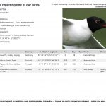 Colour ringed Mediterranean Gull
