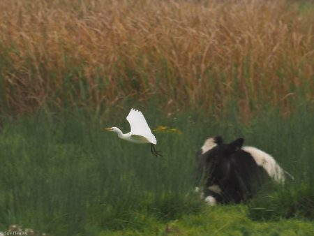 Cattle Egret at Dungeness