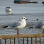 Black-headed Gulls on Gravesend Promenade
