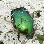 Rose Chafers at Samphire Hoe