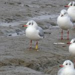 Black-headed Gull 2L RR
