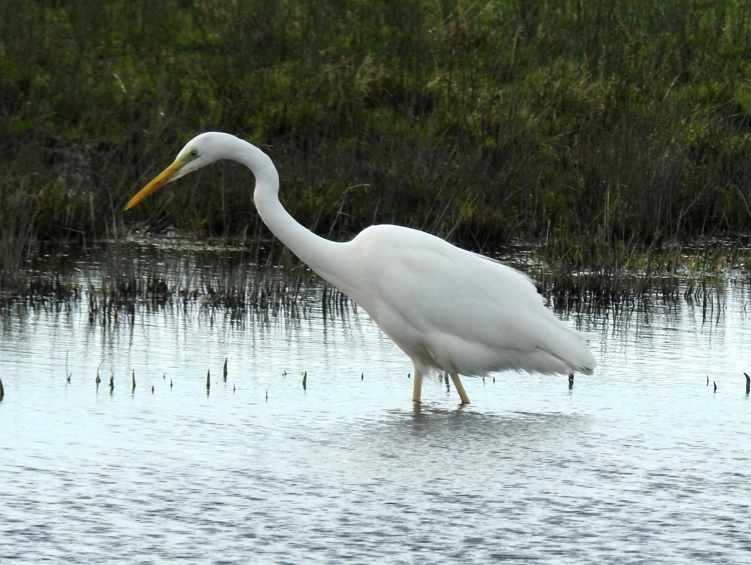 Great White Egret (© Terry)