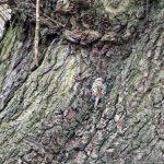 Roosting Treecreepers