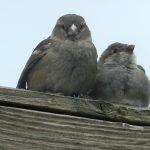 Gravesend Group Great Garden Bird Watch