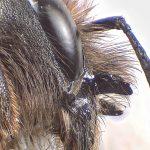 Osmia bicornis - What's in a name?