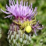 Another Crab Spider