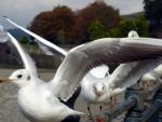 Black - headed Gulls at Chatham