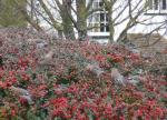 Waxwings in Kent