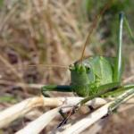 Great Green Bush Cricket!!