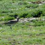 Dungeness in May - a Purple (Heron) Patch?