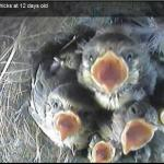 Video diary of blue tit nestbox - 2011