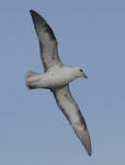 Fulmars at Foreness Point