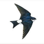 House Martins - seen any near you?
