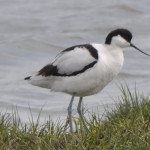 Elmley National Nature Reserve - 6th April