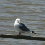 Colour-ringed Kittiwake