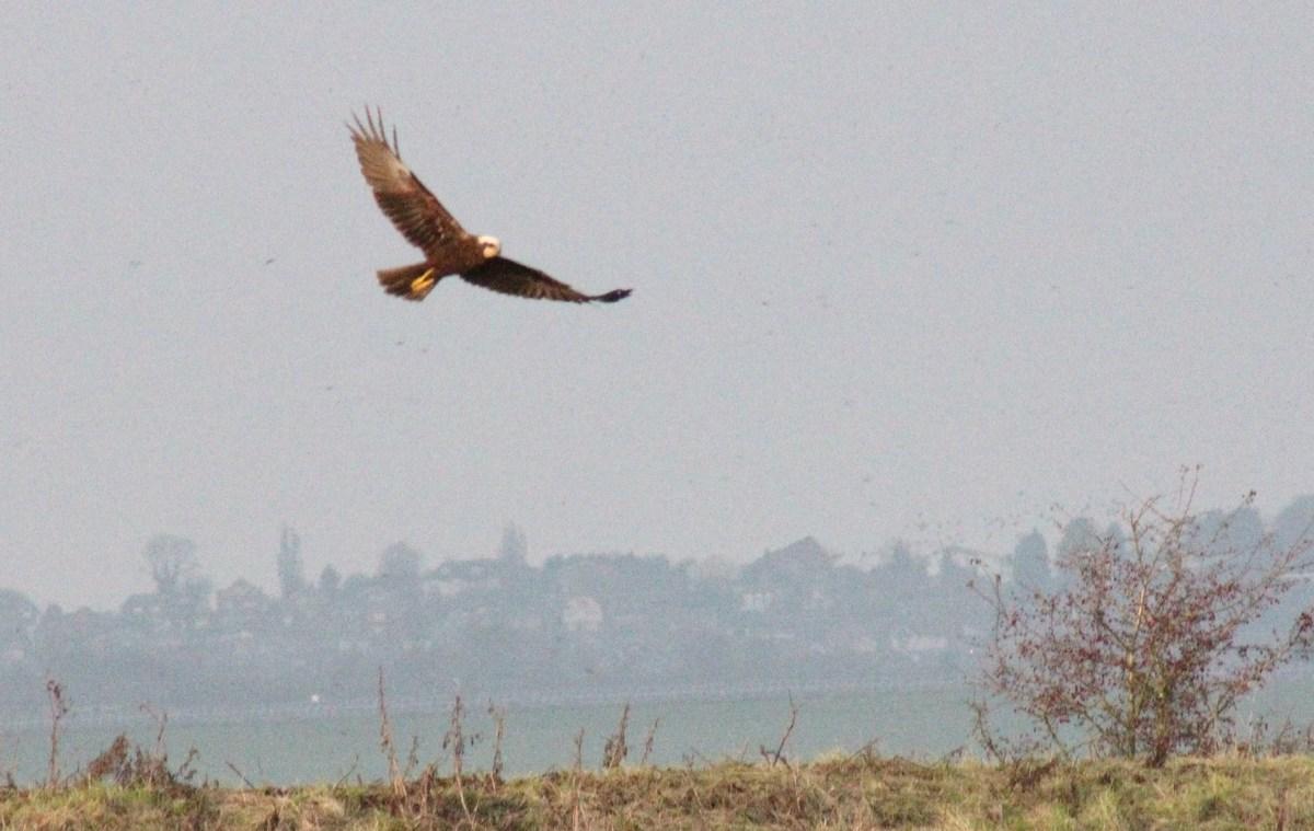 Marsh Harrier at Elmley