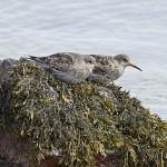 BTO Non-Estuarine Waterbird Survey