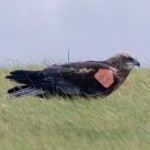Wing-tagged Marsh Harrier