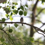 Spotted Flycatcher decline